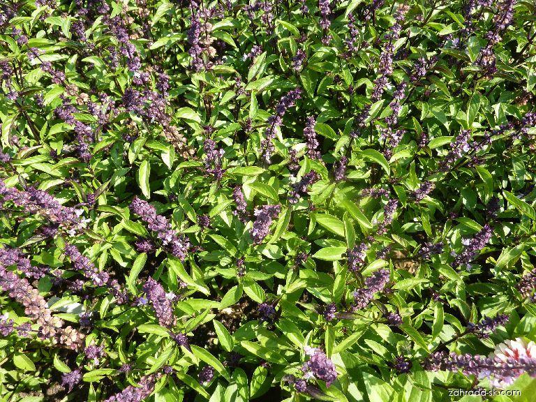 Bazalka pravá Thai (Ocimum basilicum)