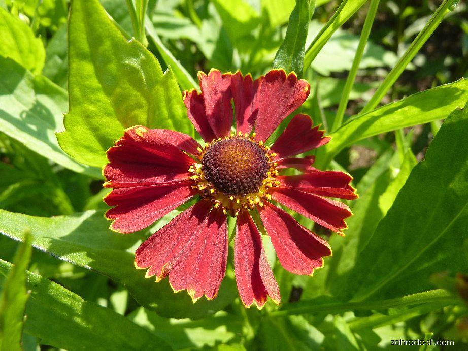Záplevák Red Jewel - květ (Helenium hybridum)