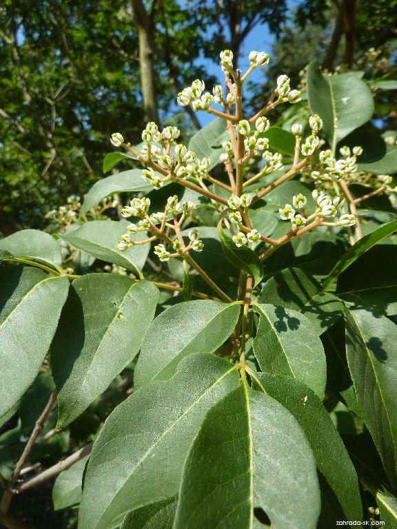 Ampák hupejský (Euodia hupehensis)