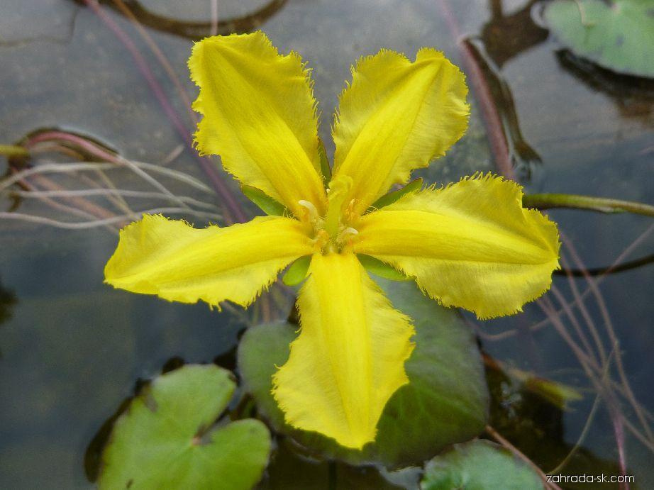 Plavín štítnatý - květ (Nymphoides peltata)