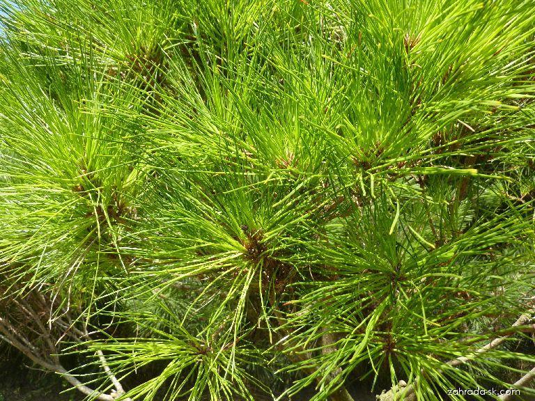 Borovica hustokvetá - Pinus densiflora Alice Verkade