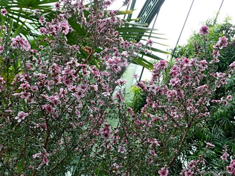 Balmín metlatý (Leptospermum scoparium)