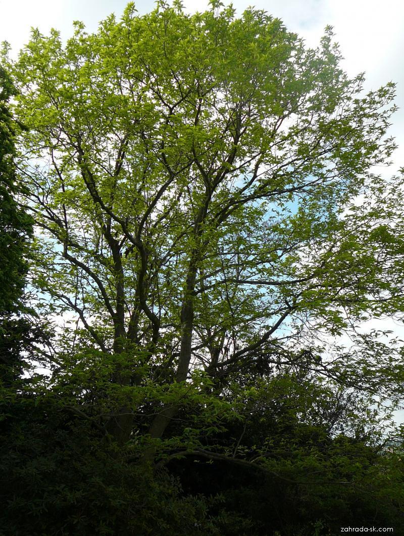 Gumojilm jilmový (Eucommia ulmoides)
