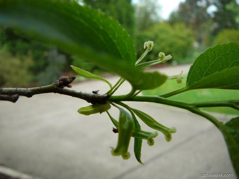 Gumojilm jilmový - květ (Eucommia ulmoides)
