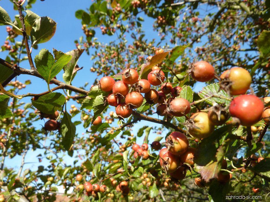 Hloh slívolistý Splendens - plody září (Crataegus prunifolia)