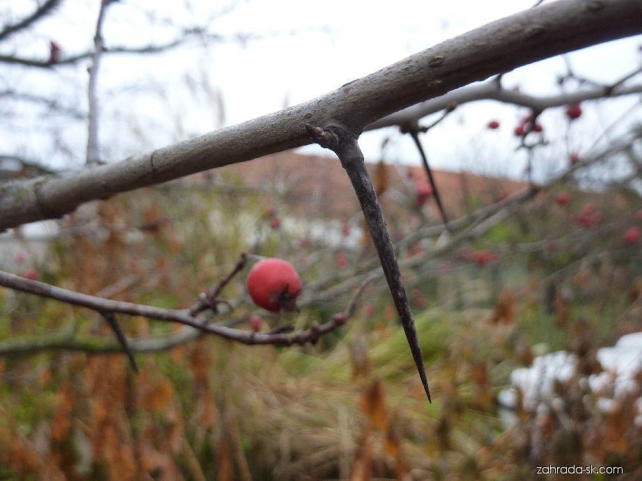 Hloh slívolistý Splendens - trn (Crataegus prunifolia)