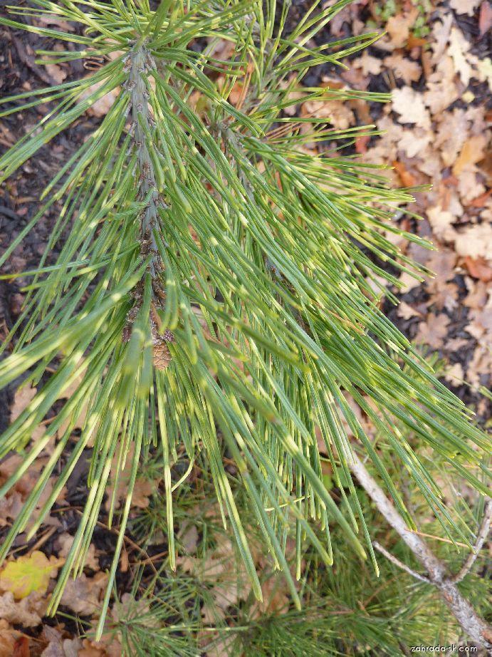 Borovica hustokvetá - Pinus densiflora Oculus draconis