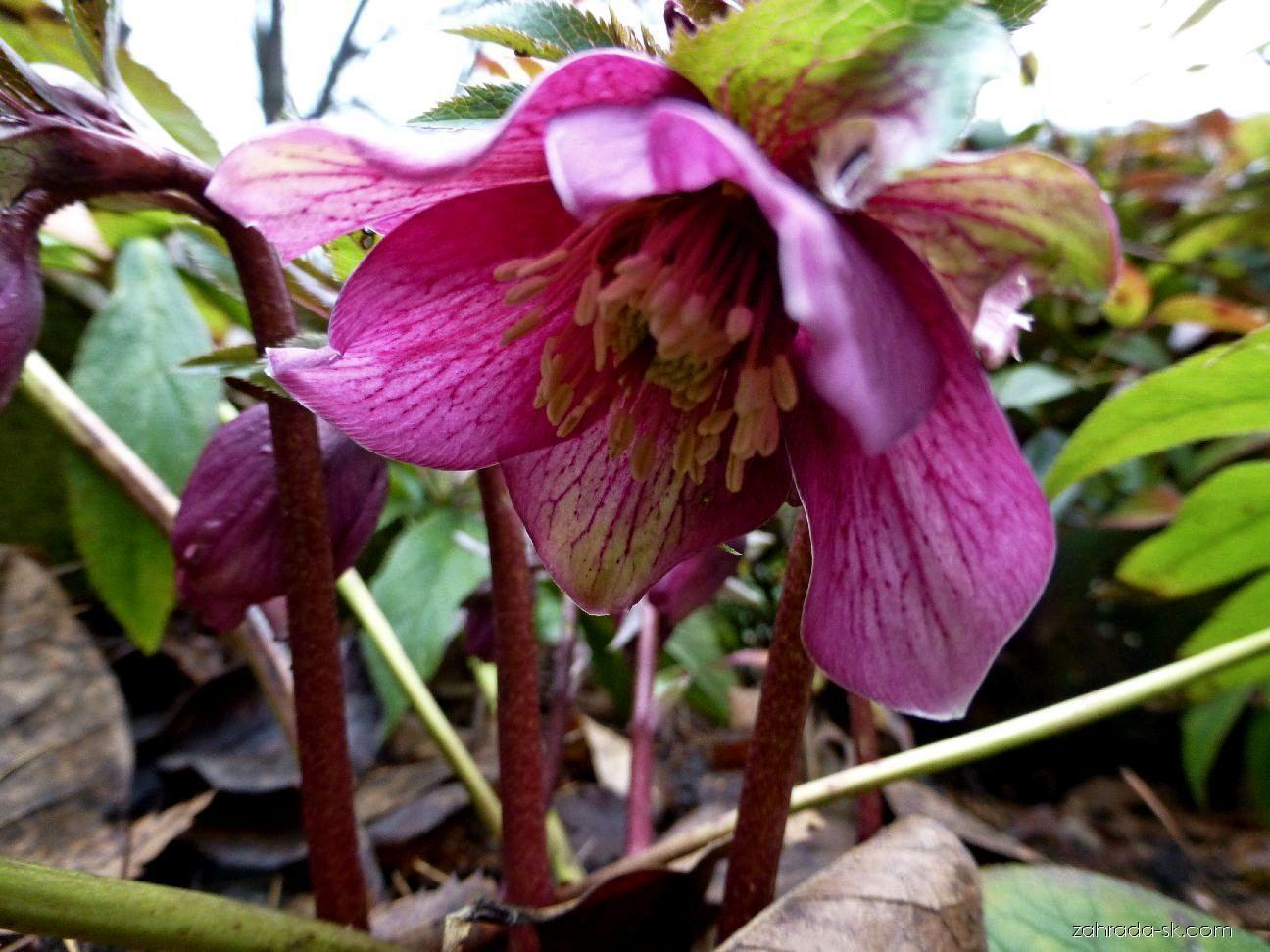 Čemerica - Helleborus purpurascens