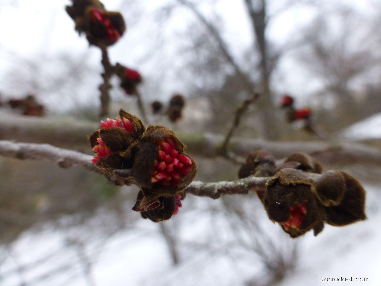 Parotie perská - květ (Parrotia persica)