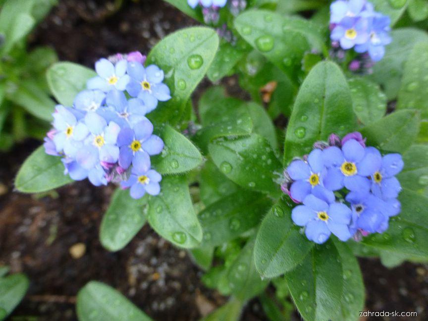 Nezábudka lesná - Myosotis sylvatica Bluesylva