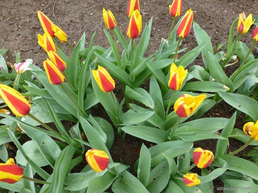 Tulipán Kaufmannov - Tulipa kaufmanniana Stresa