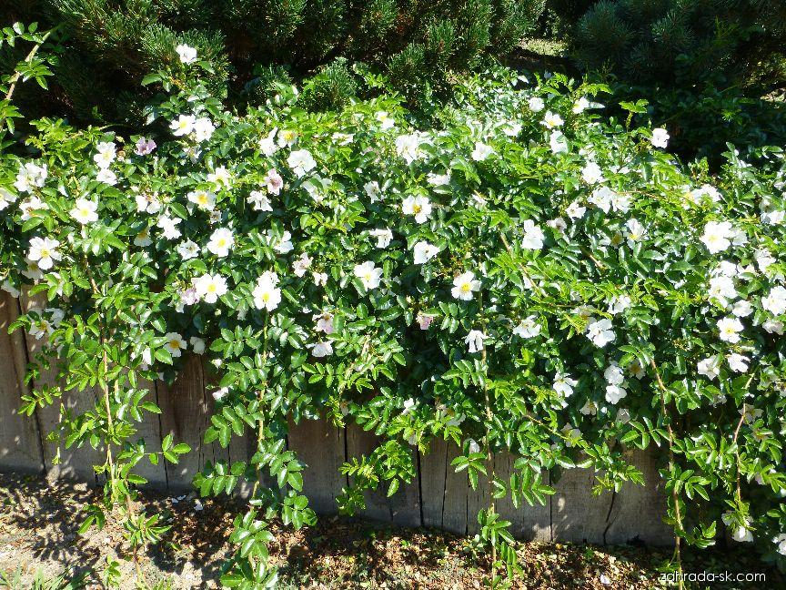 Růže Wichurové (Rosa wichuraiana)