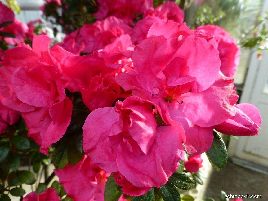 Pěnišník Mme Petrick - květ (Rhododendron simsii)