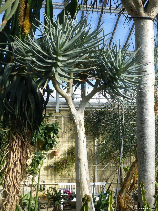 Aloe (Aloe dichotoma)