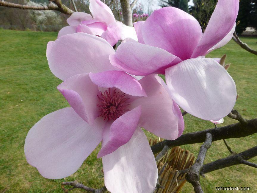Magnólia Soulangova - Magnolia x soulangeana Coates