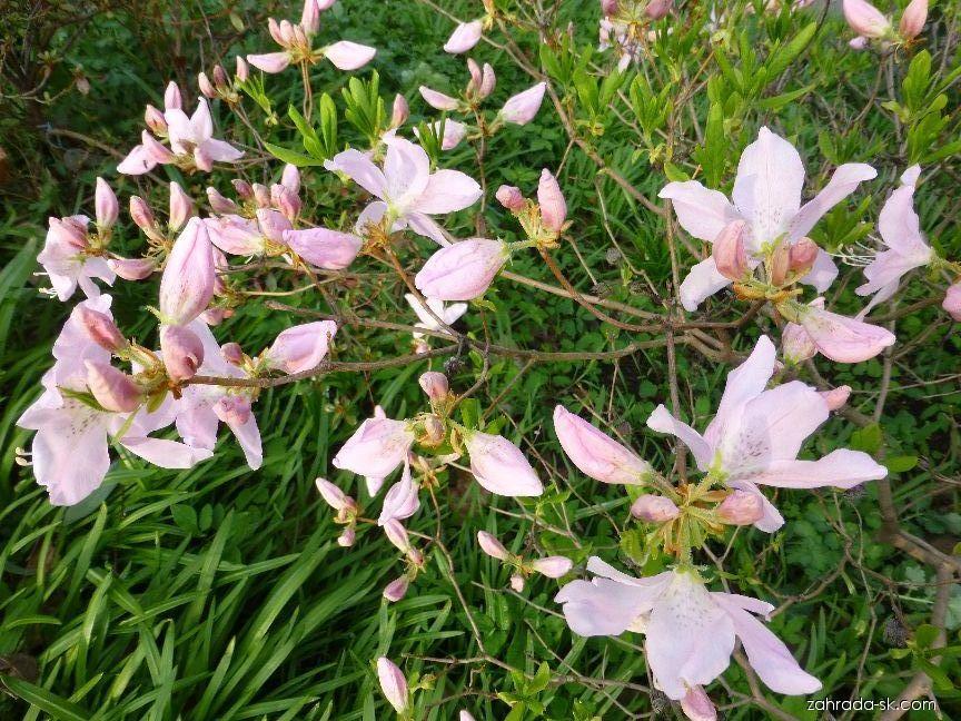 Pěnišník (Rhododendron schlippenbachii)