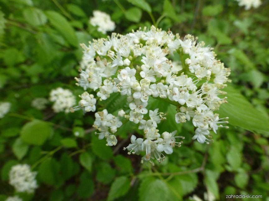 Kalina zubatá - květ (Viburnum dentatum)
