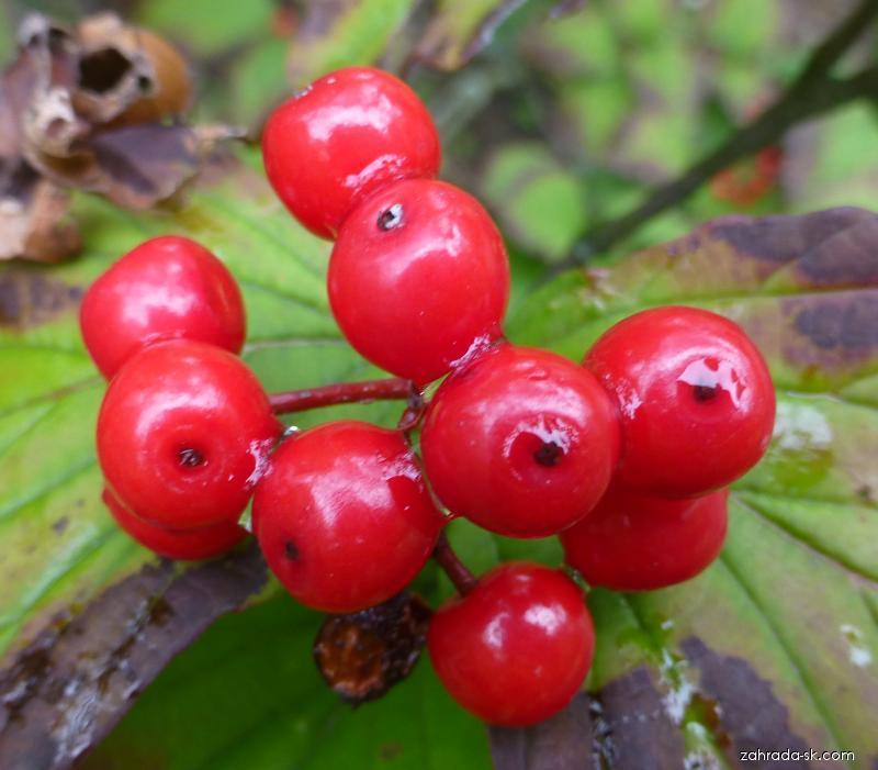 Kalina Wrightova - plod (Viburnum wrightii var hessei)