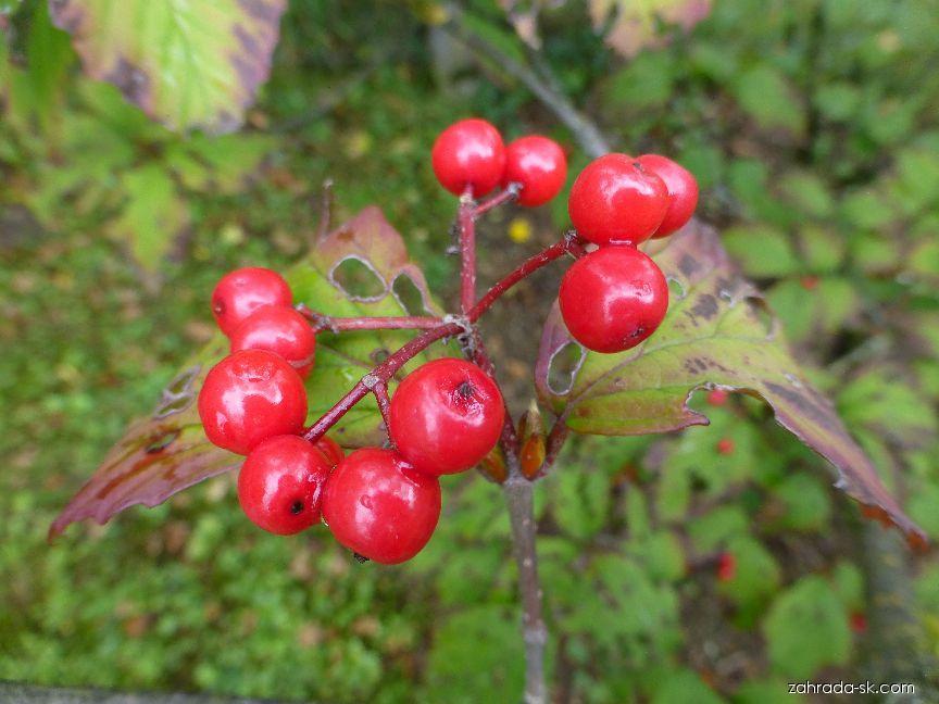 Kalina Wrightova - větévka s plody (Viburnum wrightii var hessei)