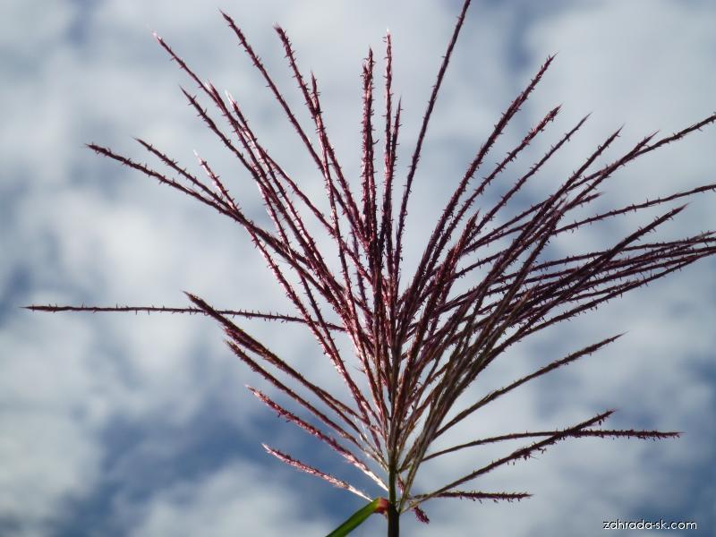 Ozdobnice obrovská - květ (Miscanthus giganteus)