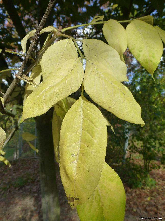 Ampák hupejský - podzimní list (Euodia hupehensis)