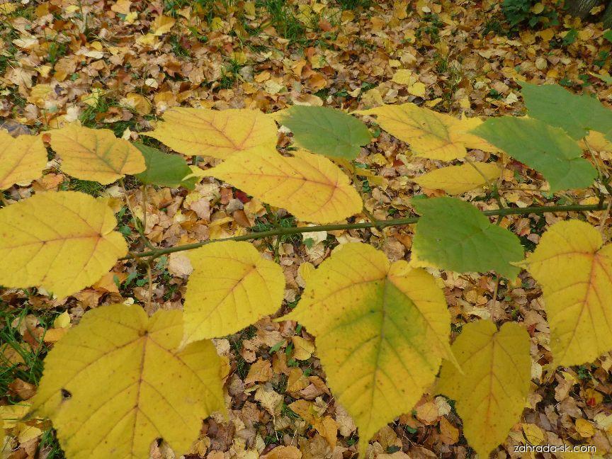 Javor Grosserův - podzimní zbarvení (Acer grosseri)