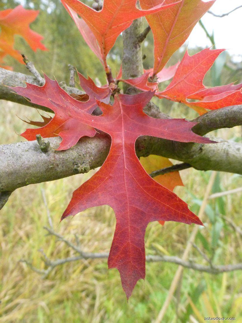 Dub močiarny - Quercus palustris Swamp Pygmy