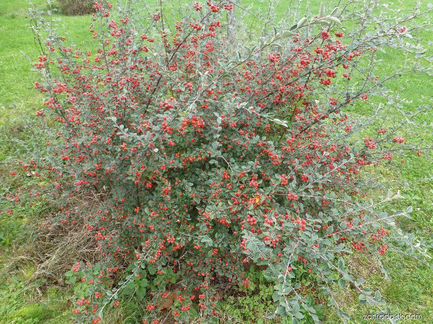 Skalník - keř s plody (Cotoneaster applanatus)