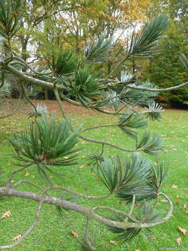 Borovica ohybná - Pinus flexilis Firmament