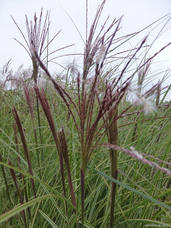 Miscanthus sinensis Morning Light (ozdobnica čínska)