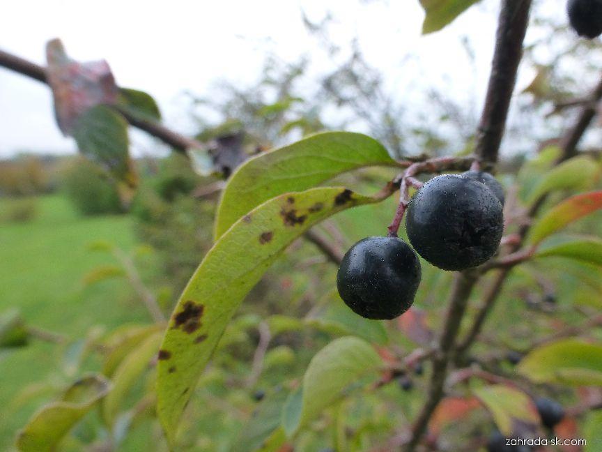 Skalník - větévka s plody (Cotoneaster pseudo-ambiguus)