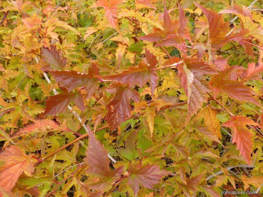 Korunatka klaná - podzimní zbarvení (Stephanandra incisa)