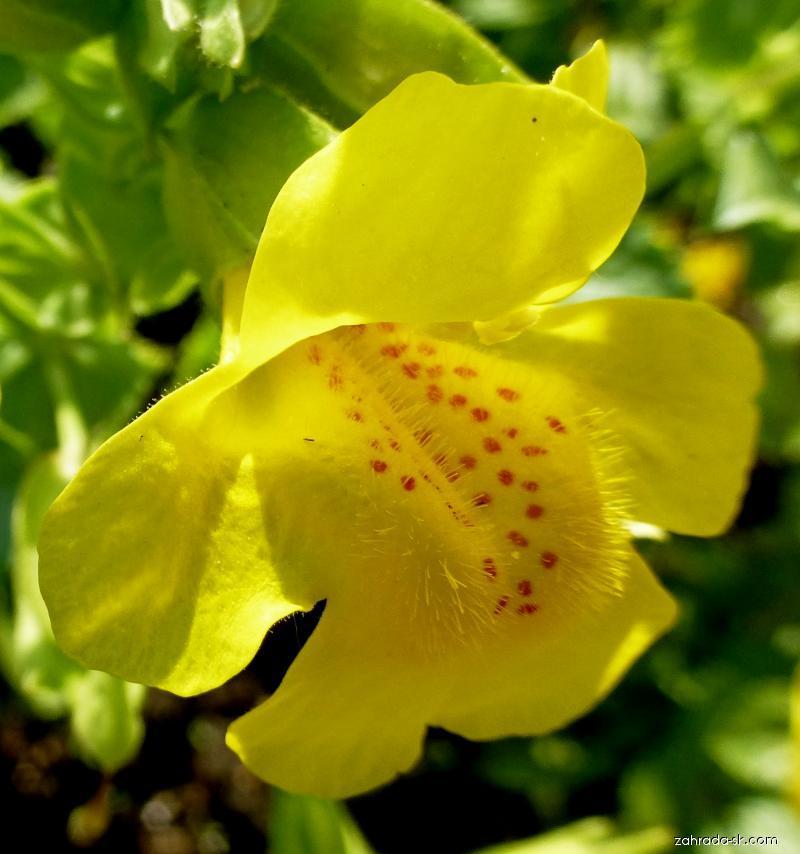 Kejklířka žlutá - květ (Mimulus luteus)
