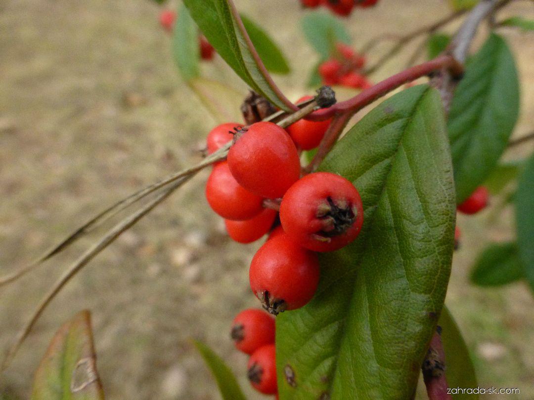 Skalník vrbolistý - větévka s plody (Cotoneaster salicifolius var floccosus)