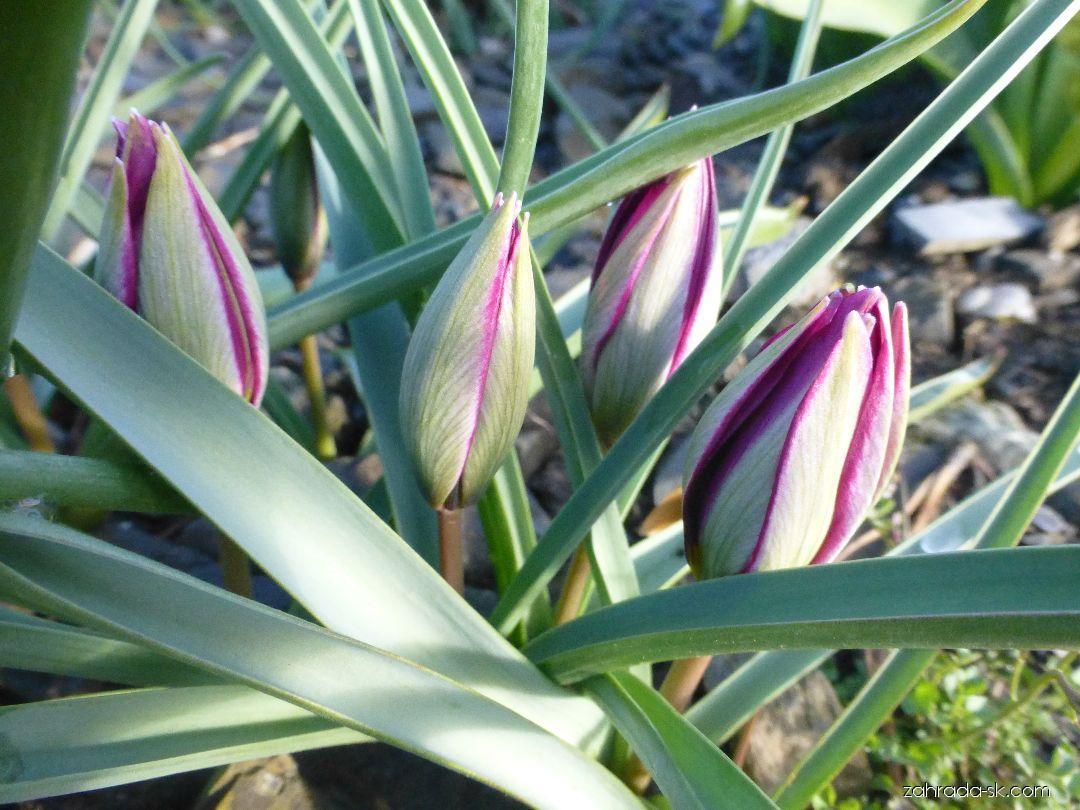 Tulipán - Tulipa humilis var. pulchella Persian Pearl