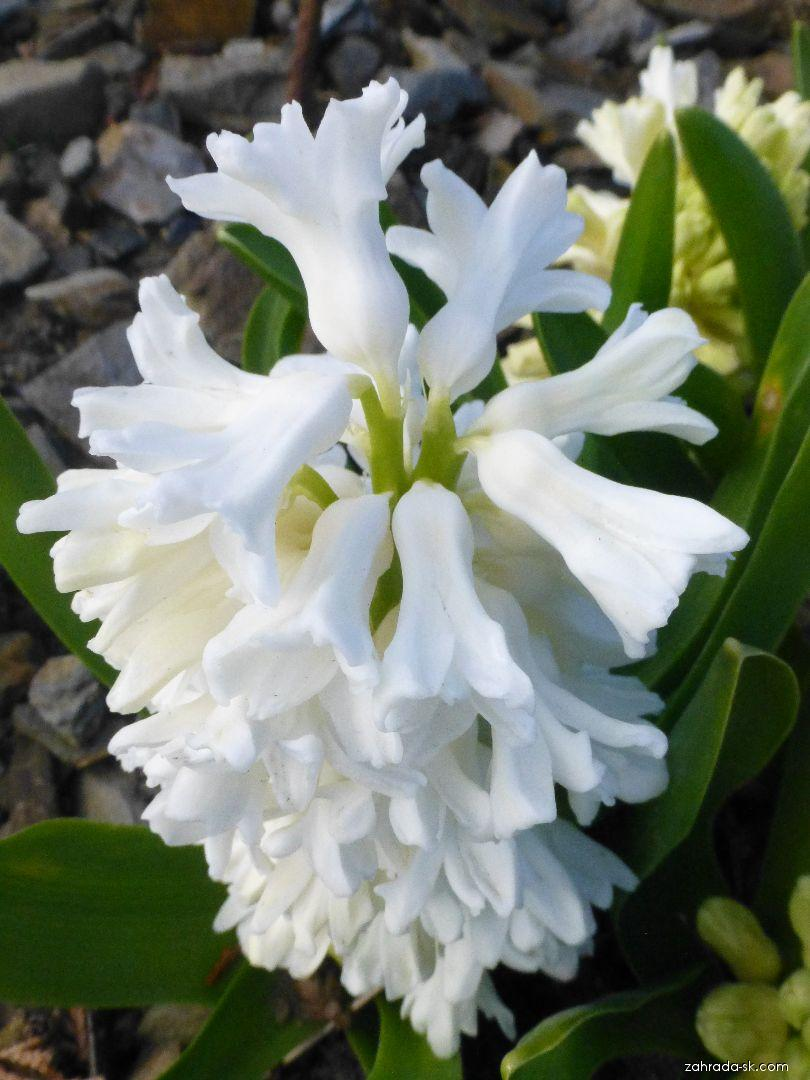 Hyacint východný - Hyacinthus orientalis Aiolos