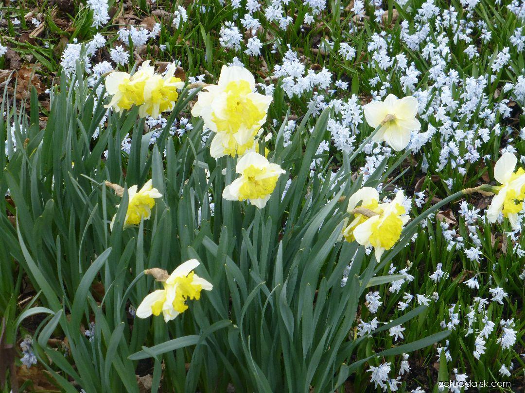 Narcis - Narcissus Printal