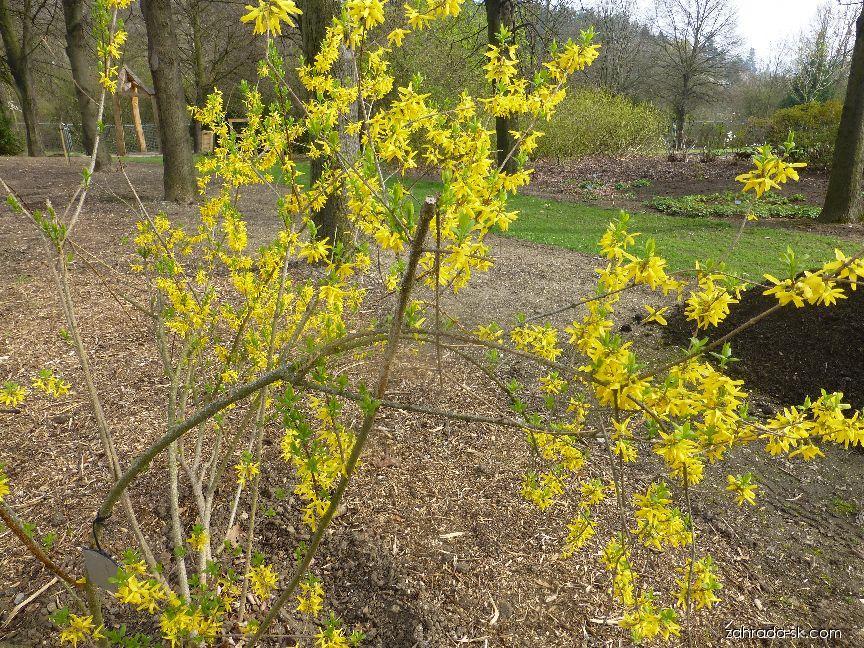 Zlatovka prostredná - Forsythia x intermedia Vitellina
