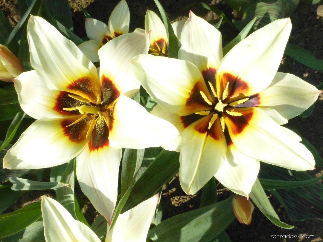 Tulipán Greigův Beethovens Memory (Tulipa greigii)