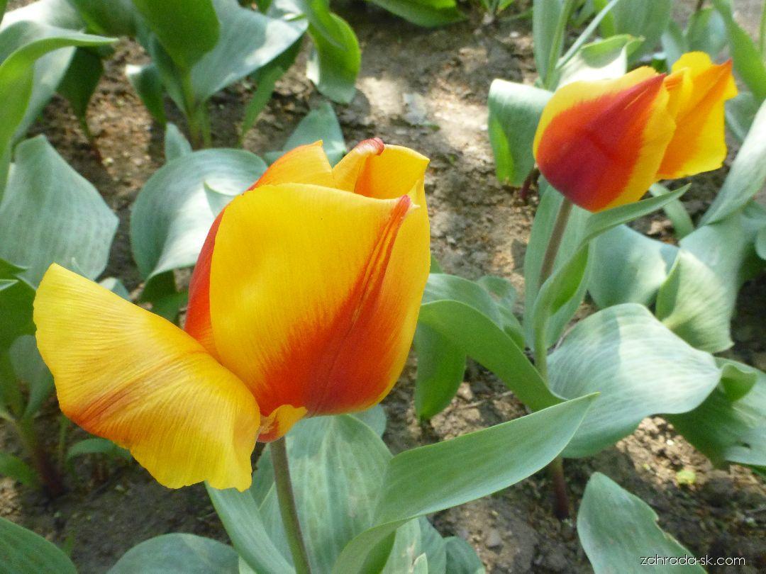 Tulipán Greigov - Tulipa greigii German Flag