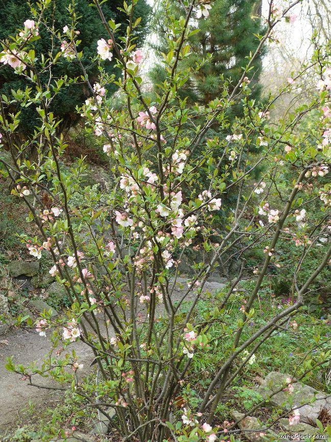 Kdoulovec japonský (Chaenomeles japonica rosea)