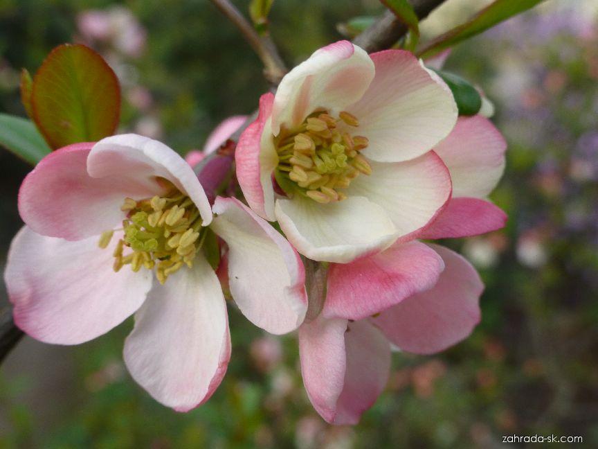 Kdoulovec japonský - květ (Chaenomeles japonica rosea)