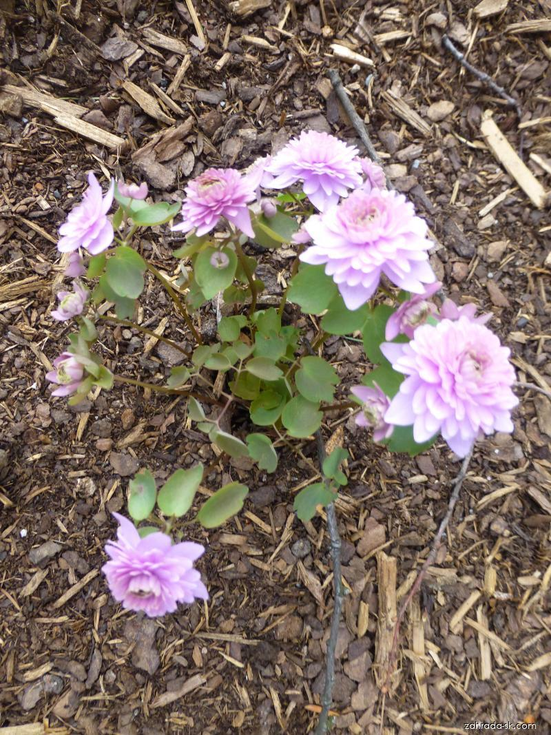 Sasanečka žluťuchovitá (Anemonella thalictroides Schoaffs Double Pink)