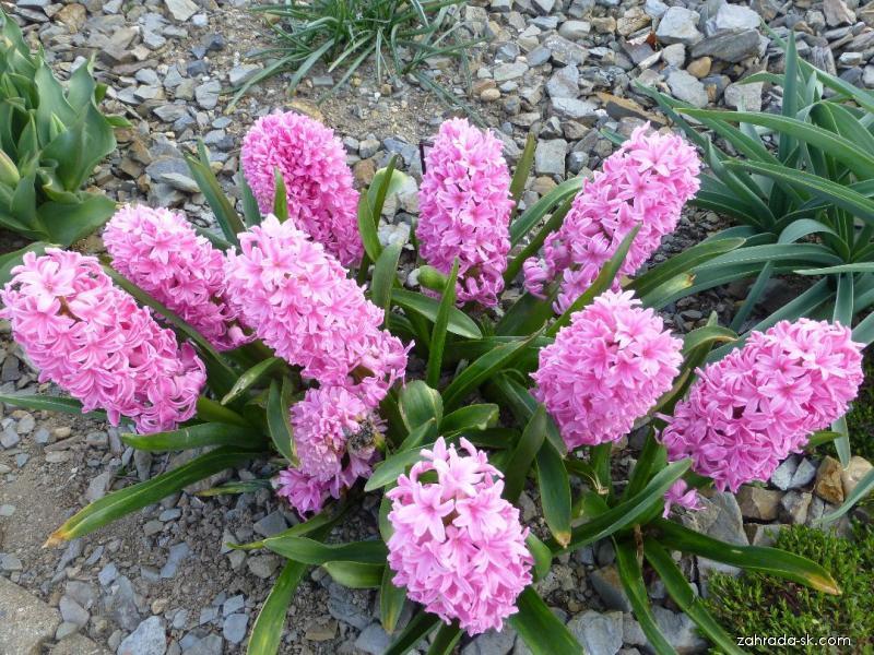 Hyacint východný - Hyacinthus orientalis Ibis