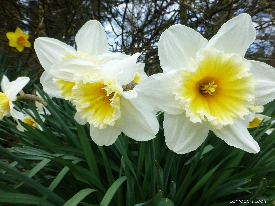 Narcis - Narcissus Orange Ice Folies