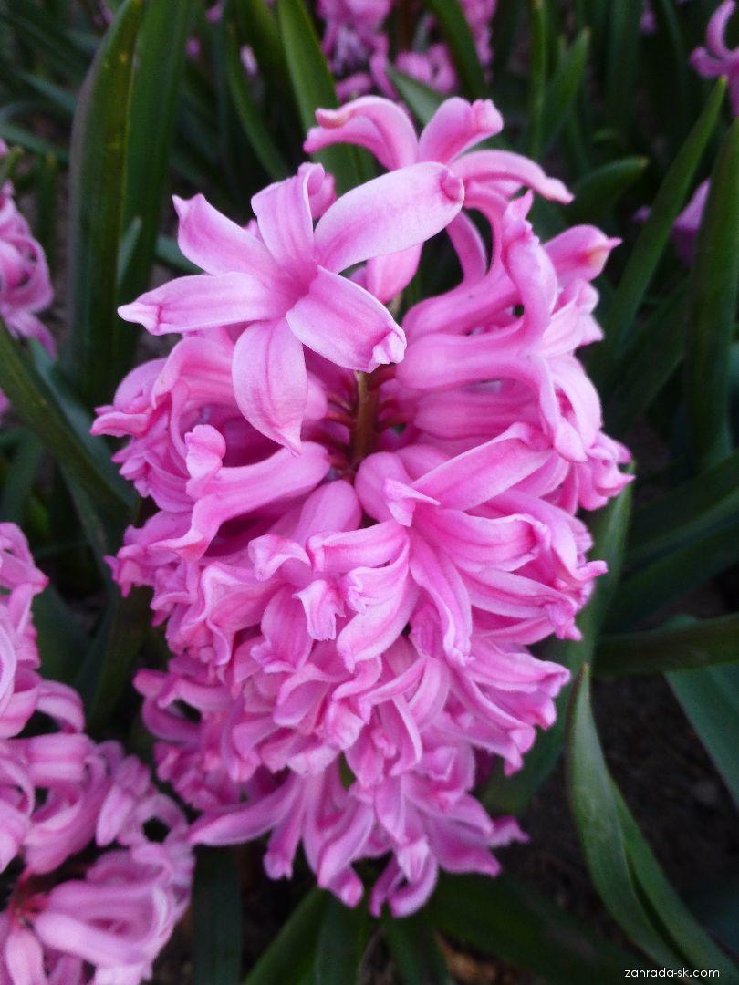 Hyacint východný - Hyacinthus orientalis Marconi