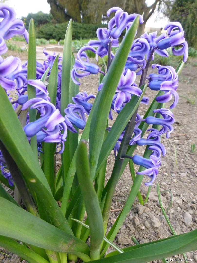 Hyacint východný - Hyacinthus orientalis Blue Jacket