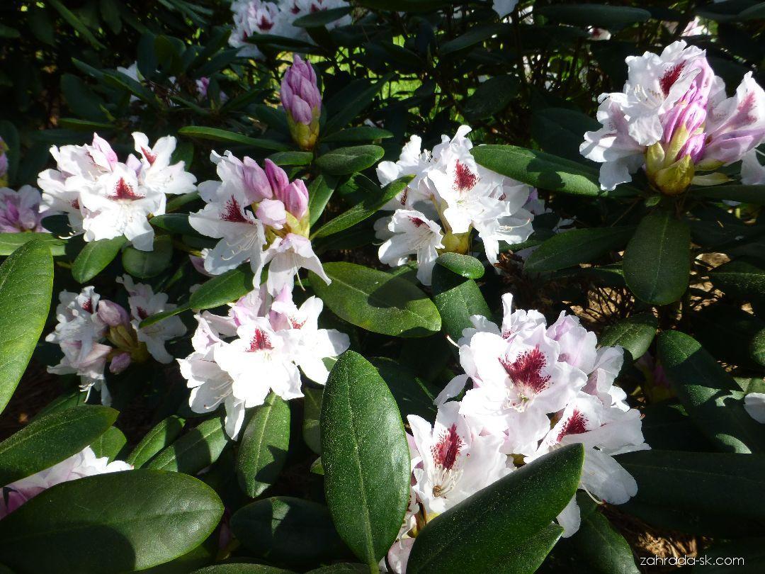 Pěnišník Schneeauge (Rhododendron)
