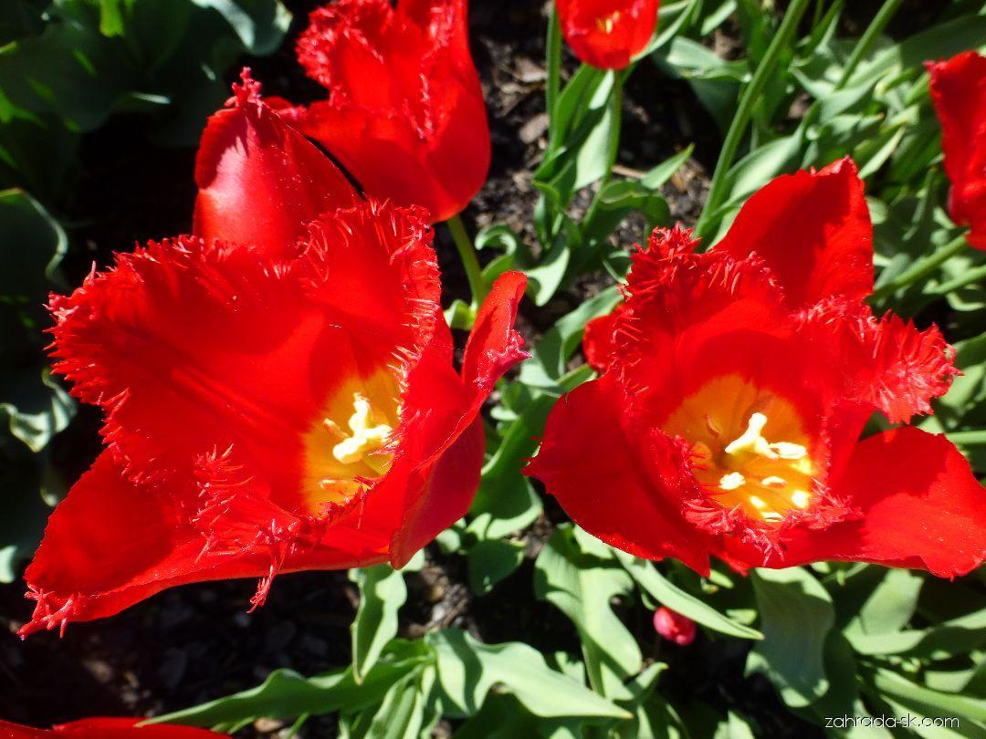 Tulipán - Tulipa Calibra