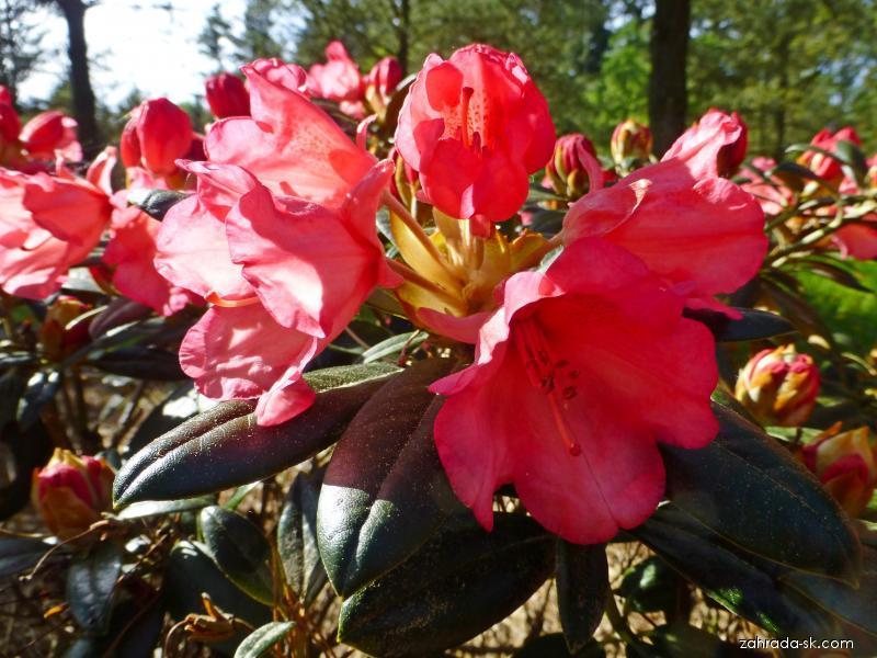 Pěnišník Inez (Rhododendron)